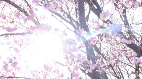 桜の隙間から太陽、木漏れ日の写真フリー素材 Photo-free material of the sun and sunlight through the gaps in the cherry blossoms