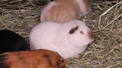 モルモット、ペット、哺乳類、動物園、動物の写真フリー素材 Guinea pigs, pets, mammals, zoos, animals photos free material