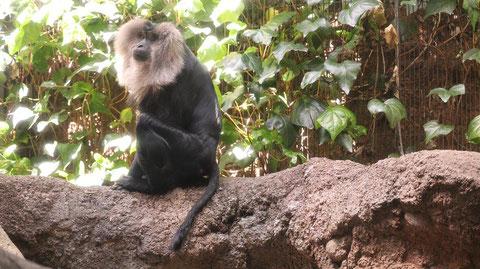 自然、猿、動物園、シシオザル、動物の写真フリー素材 Nature, monkey, zoo, lion-tailed macaque, animal photo free material
