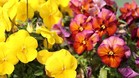 黄色い花、赤い花の写真フリー素材 Yellow flower, red flower photo free material