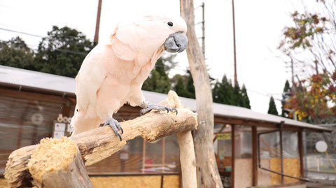 オウムのフリー素材 Parrot free material