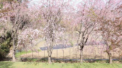 庭の桜の写真フリー素材 Garden cherry blossoms photo free material