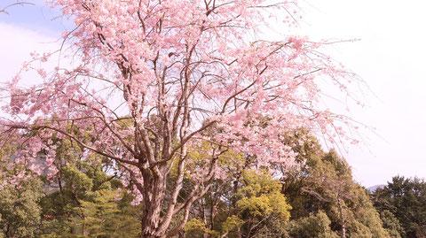 森に咲く桜の写真フリー素材 Photos of cherry blossoms blooming in the forest Free material