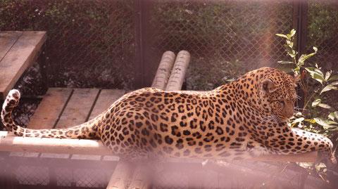 ヒョウ、豹、猫科、動物園、動物の写真フリー素材 Leopard,  feline, zoo, animal photo free material