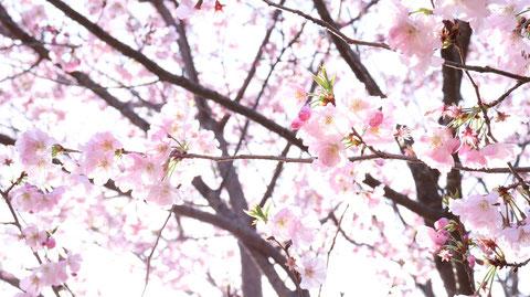 桜の写真フリー素材 Sakura photo free material