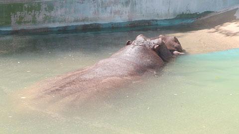 カバ、哺乳類、動物園、動物の写真フリー素材 Hippopotamus, Mammals, Zoos, Animals Photos Free Material