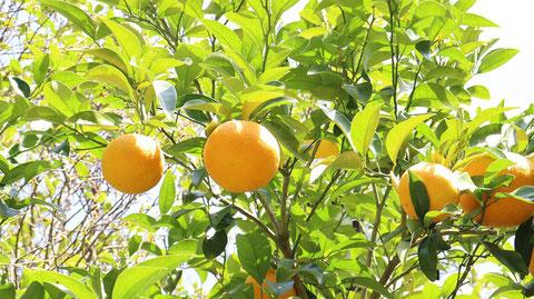オレンジ、農家、みかん、みかんの木、写真フリー素材 Orange, farmhouse, mandarin orange, mandarin tree, photo free material
