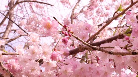 桜のつぼみの写真フリー素材 Cherry buds photo free material