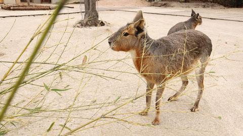 動物のフリー素材 Dolichotis patagonum Free material