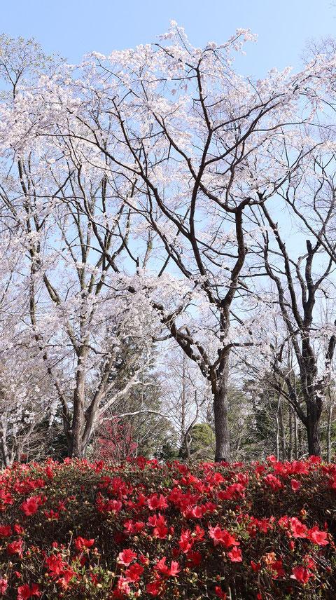 桜の木の写真フリー素材 Cherry tree photo free material