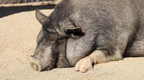 ブタのフリー素材 Pig free material