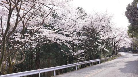 道路沿いの桜の写真フリー素材 Photos of cherry blossoms along the road Free material