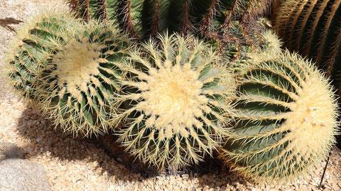 トゲトゲサボテンの写真フリー素材 Cactus Photo Free Material