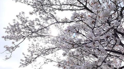 桜の隙間から太陽の写真フリー素材 Photograph-free material of the sun through the gaps of cherry blossoms