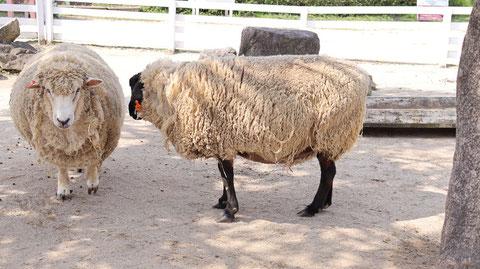 牧場、家畜、ひつじ、羊、動物の写真フリー素材 Pictures of ranch, livestock, sheep,  animals Free material