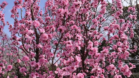 ピンクの花の写真フリー素材 Pink Flower Photo Free Material