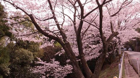 桜と車の写真フリー素材 Sakura and car photo free material