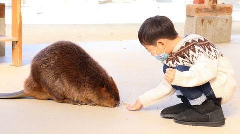 ビーバー動物のフリー素材 beaver Free material