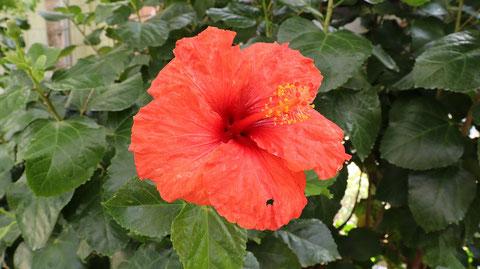沖縄っぽい花の写真フリー素材 Okinawa-like flower photo free material
