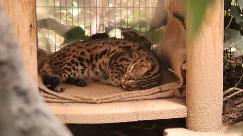 自然、ベンガルヤマネコ、猫、動物園、動物の写真フリー素材 Nature, Bengal Wildcat, Cat, Zoo, Animal Photos Free Material