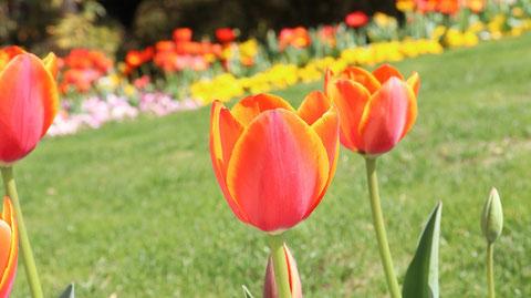 赤いチューリップの写真フリー素材 Red Tulip Photos Free Material