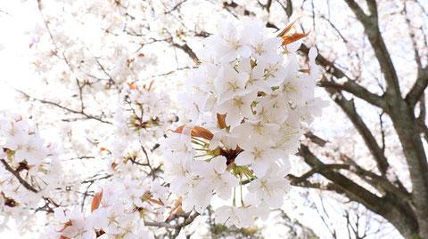 白い花の木の写真フリー素材 White Flower Tree Photos Free Material