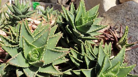 アロエの写真フリー素材 Aloe Photos Free Material
