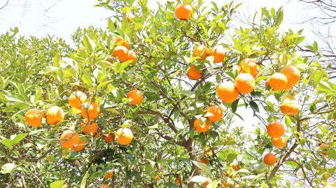オレンジの写真フリー素材 Orange Photo Free Material