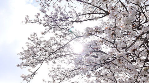 桜の木漏れ日の写真フリー素材 Photo free material of cherry blossom sunbeams