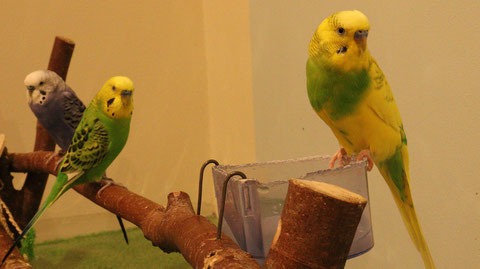 インコ、セキセイインコ、小動物、鳥、動物の写真フリー素材 Parakeet, budgerigar, small animal, bird, animal photo free material