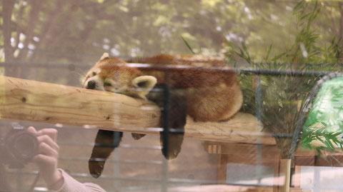 シセンレッサーパンダ、レッサーパンダ、哺乳類、動物園、動物の写真フリー素材 Sisen Red Panda, Red Panda, Mammals, Zoos, Animals Photos Free Material