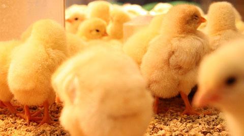 小動物、鳥、ヒヨコ、ひよこ、動物の写真フリー素材 Pictures of small animals, birds, chicks, animals Free material