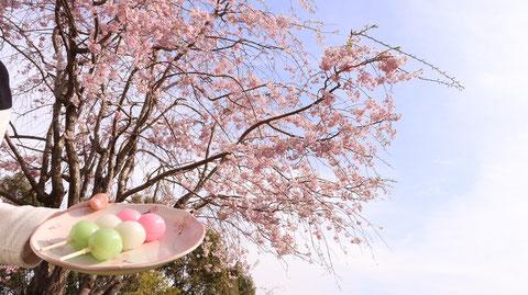 桜、花見、花、春、団子、青空、空の写真フリー素材 Cherry blossoms, cherry blossom viewing, flowers, spring, dumplings, blue sky, sky photos free material