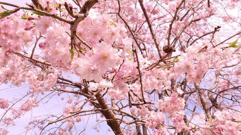 空と桜の写真フリー素材 Sky and cherry blossoms photo free material