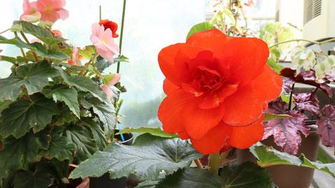 真っ赤な花の写真フリー素材 Bright red flowers photo free material