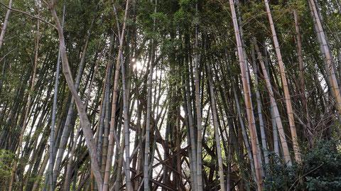 竹林の画像フリー素材 Bamboo grove photo free material