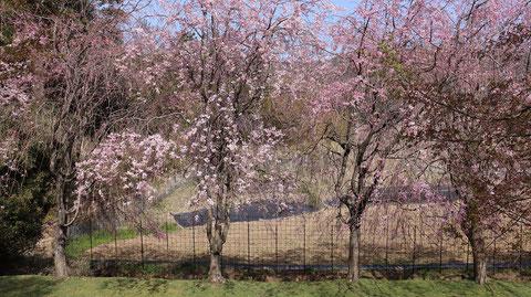 五分咲き桜の画像フリー素材 Image free material of five-minute blooming cherry blossoms