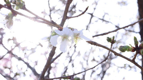 桜と陽の光の写真フリー素材 Sakura and sunlight photo free material
