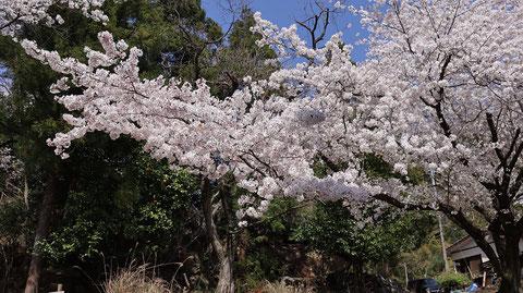 日本の花見の写真フリー素材 Japanese cherry blossom viewing photo free material
