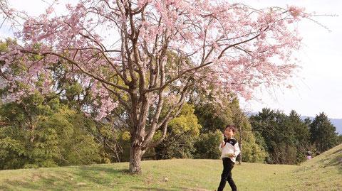 桜、花見、花、春、団子、子供、山の写真フリー素材 Cherry blossoms, cherry blossom viewing, flowers, spring, dumplings, children, mountains photo free material