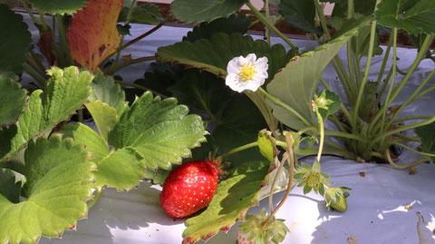 花、いちご、イチゴ、農園、果物、フルーツ、遊び、いちご狩り、苺、外食、食べ物の写真フリー素材 Strawberries,  Farms,  Fruits, Play, Strawberry Picking, Eating Out, Food Photos Free Material