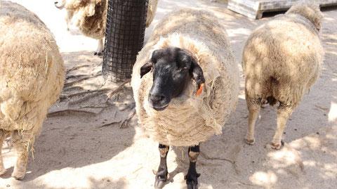 牧場、家畜、ひつじ、羊、動物の写真フリー素材 Pictures of ranch, livestock, sheep, sheep, animals Free material
