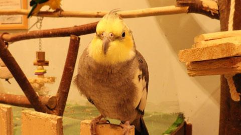 インコ、オカメインコ、小動物、鳥、動物の写真フリー素材 Parakeet, cockatiel, small animal, bird, animal photo free material