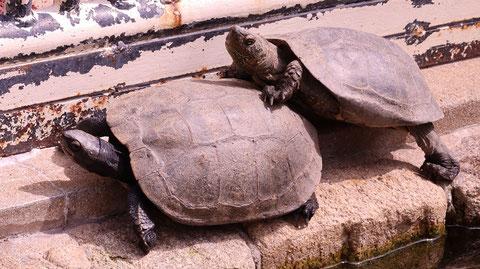 亀、ニホンイシガメ、爬虫類、動物園、動物の写真フリー素材 Turtles, Japanese pond turtles, reptiles, zoos, animals photos free material