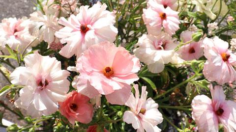白い花とピンクの花の写真フリー素材 White Flowers and Pink Flowers Photos Free Material