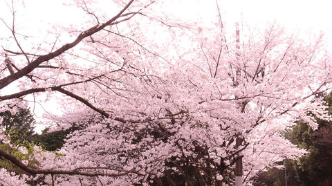 桜の木々の写真フリー素材 Photos of cherry trees Free material