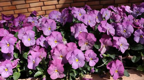 紫の花の写真フリー素材 Purple flower photo free material