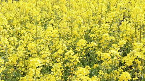 黄色い花のお花畑の写真フリー素材 Yellow flower flower field photo free material
