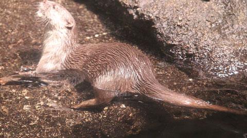 カワウソ、コツメカワウソ、動物園、動物の写真フリー素材 Otters, river otters, zoos, animals photos free material