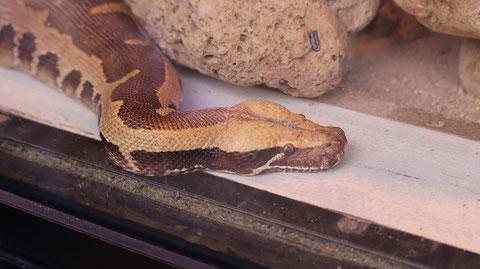 蛇、ヘビ、ヒイロニシキヘビ、爬虫類、動物園、動物の写真フリー素材 Photo Free Material for Snakes, Snakes, Pythons, Reptiles, Zoos, Animals